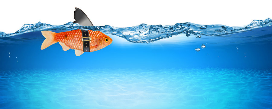 goldfish with fake shark fin creative business idea innovation concept isolated