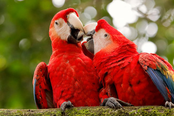 Scarlet macaw - parrot kissing - love