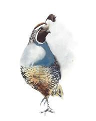 Quail bird portrait wildlife handmade watercolor painting isolated on white background