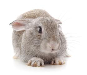 One grey rabbit.