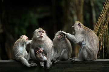 Foto op Textielframe Aap Monkeys family in Ubud forest.