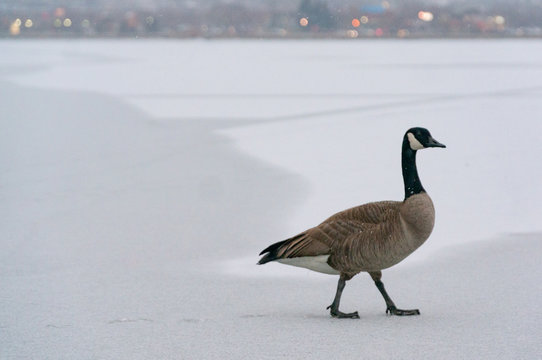 Canadian Goose and It's Footprints on Ice Covered Lake in Winter