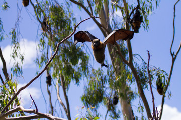 Fruit Bat Flying Through the Trees