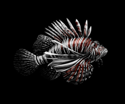 Tropical fish. Portrait of a lionfish on a black background