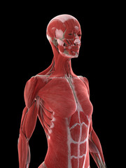 3d rendered medically accurate illustration of a females upper body muscles