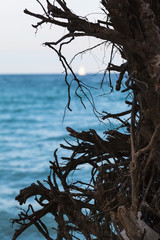 Wild and Romantic Sea View / Detail of roots and branches of dead tree down at shore of baltic sea, white sail at water horizon (copy space)
