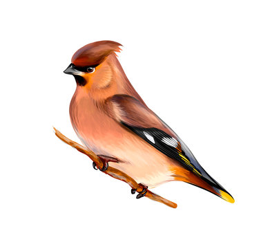 Portrait of a Waxwing bird sitting on a branch on white background, hand drawn sketch