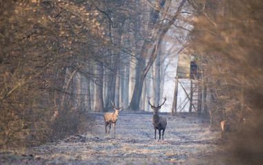 Red deers in forest in winter time
