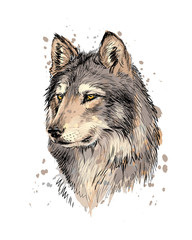 Portrait of a wolf head from a splash of watercolor