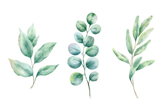 .Green leaves and branches isolated on white background. Watercolor painting for wedding invitations,greeting card and design..