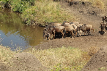 Blue wildebeests at a waterhole in the Masai Mara
