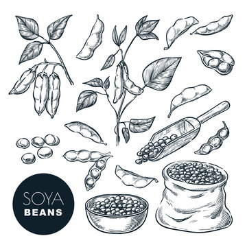 Soybean sketch vector illustration. Soya beens, pod on green plant, seeds in sack. Hand drawn isolated design elements