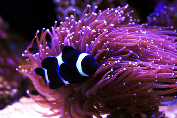 Black & White Ocellaris Clownfish, Captive-Bred (Amphiprion ocellaris var.