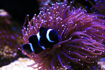 Black & White Ocellaris Clownfish, - Amphiprion ocellaris