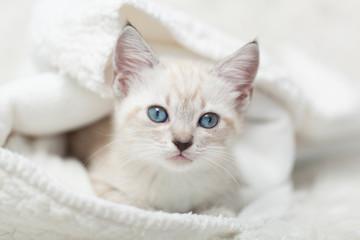 White Siamese tabby kitten laying inside of a white blanket