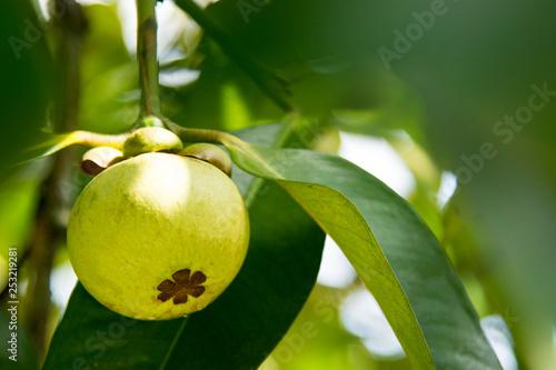 Mangosteen fruit on tree in Thailand garden Mangosteen green