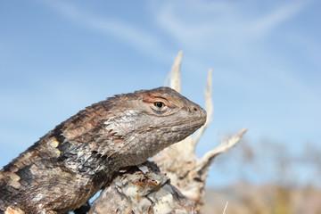 Desert Spiny Lizard (Sceloporus magister) closeup
