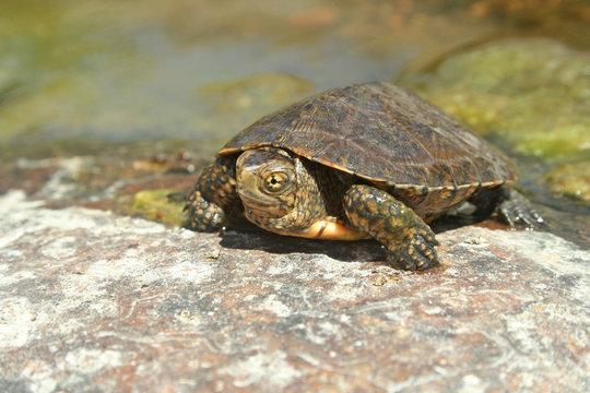 Southwestern Pond Turtle (Actinemys pallida)