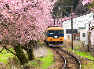 Train with cherry blossom in japan