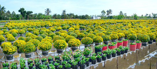 The garden above the water of Yellow Daisies is seen from above, blooming during the harvest. They are hydroponic planted in gardens along the Mekong Delta of Vietnam