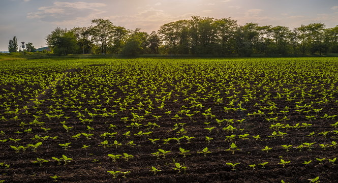 Green sprouts crop. Spring field of green sunflower sprouts. Agricultural grounds.