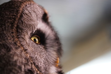Foto auf AluDibond Eule Owl uil head hoofd close up closeup