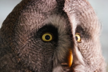 Photo Blinds Owl Owl uil head hoofd close up closeup