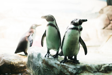 A penguin in a zoo staring at the camera with other penguins