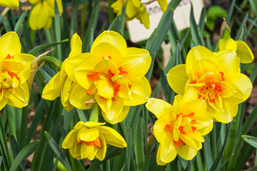 Papiers peints Narcisse Narcissus of the Innovator species