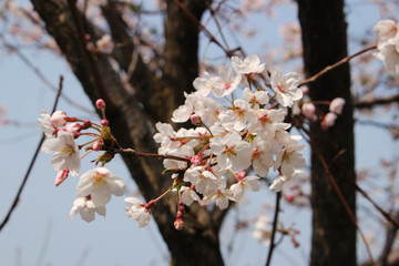 Blooming Cherry Blossom of Jeju Island