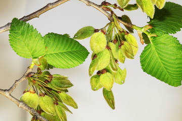 Branch of elm wit leaves and seeds