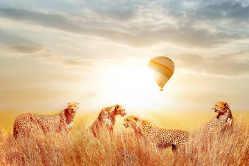 Wall Mural - Group of cheetahs in the African savannah against beautiful sky and balloon. Tanzania, Serengeti National Park.  Wild life of Africa.
