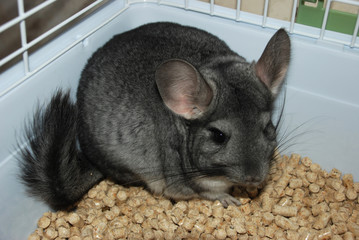 Chinchilla a pet indoor at human's house looks at the camera from the cage