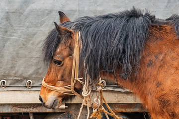 a dirty brown horse tied to a truck