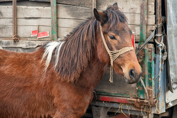 a brown horse tied to a truck