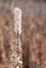 Blazing Star in an Autumn Prairie
