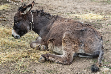 Brown donkey lying on the ground (Equus asinus)