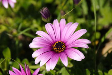 Pink African Daisy