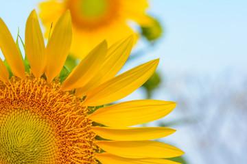 Sun flower at flower farm in Thailand. Algriculture flower farm in Thailand. Nature flower background