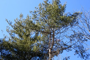 Under the tall green pine trees with the blue sky.