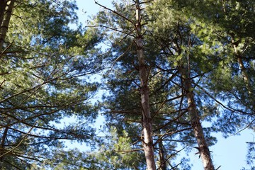 A view of the tall pine trees in the forest with blue skies.