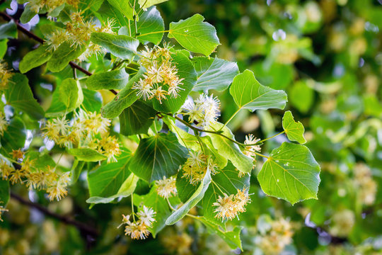 Blossom of linden in sunny weather, background. Melliferous plants_