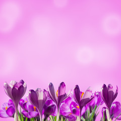 Sprind floral background with crocuses