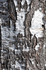 Texture of old birch tree in close-up (high details).