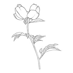 vector drawing peony flower