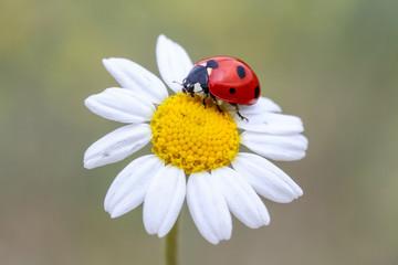 Fototapeta ladybug on a flower obraz