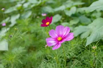 magic magenta flower of cosmos
