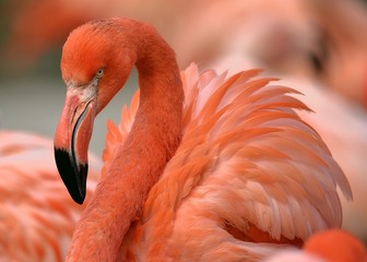 Aluminium Prints Flamingo Caribbean Flamingo
