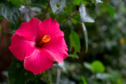 close-up of hibiscus flowers
