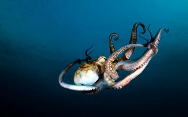 Amazing underwater world - Octopus cyanea - Day octopus. Diving in Bali.